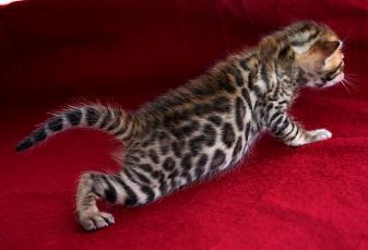 Бенгальские кошки купить тойгер